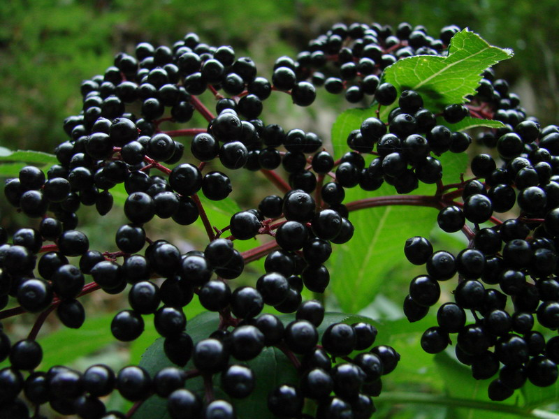 Elderberry increases life expectancy